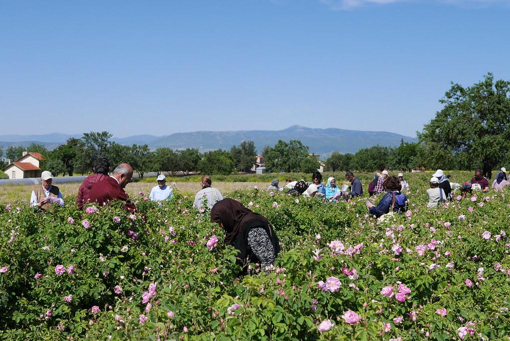 Isparta採收玫瑰