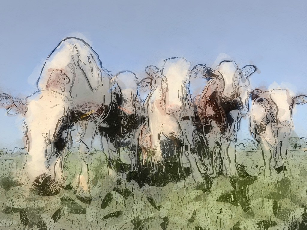 Cows in W.