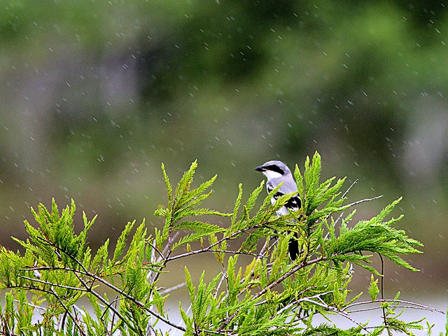 Loggerhead Shrike in rain 2-20170604