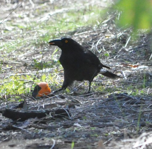 Currawong and meal