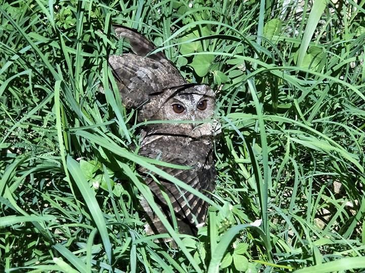 晚上野放,飛出去不久即掉落草叢裡,雙腿無力,翅膀無法收攏