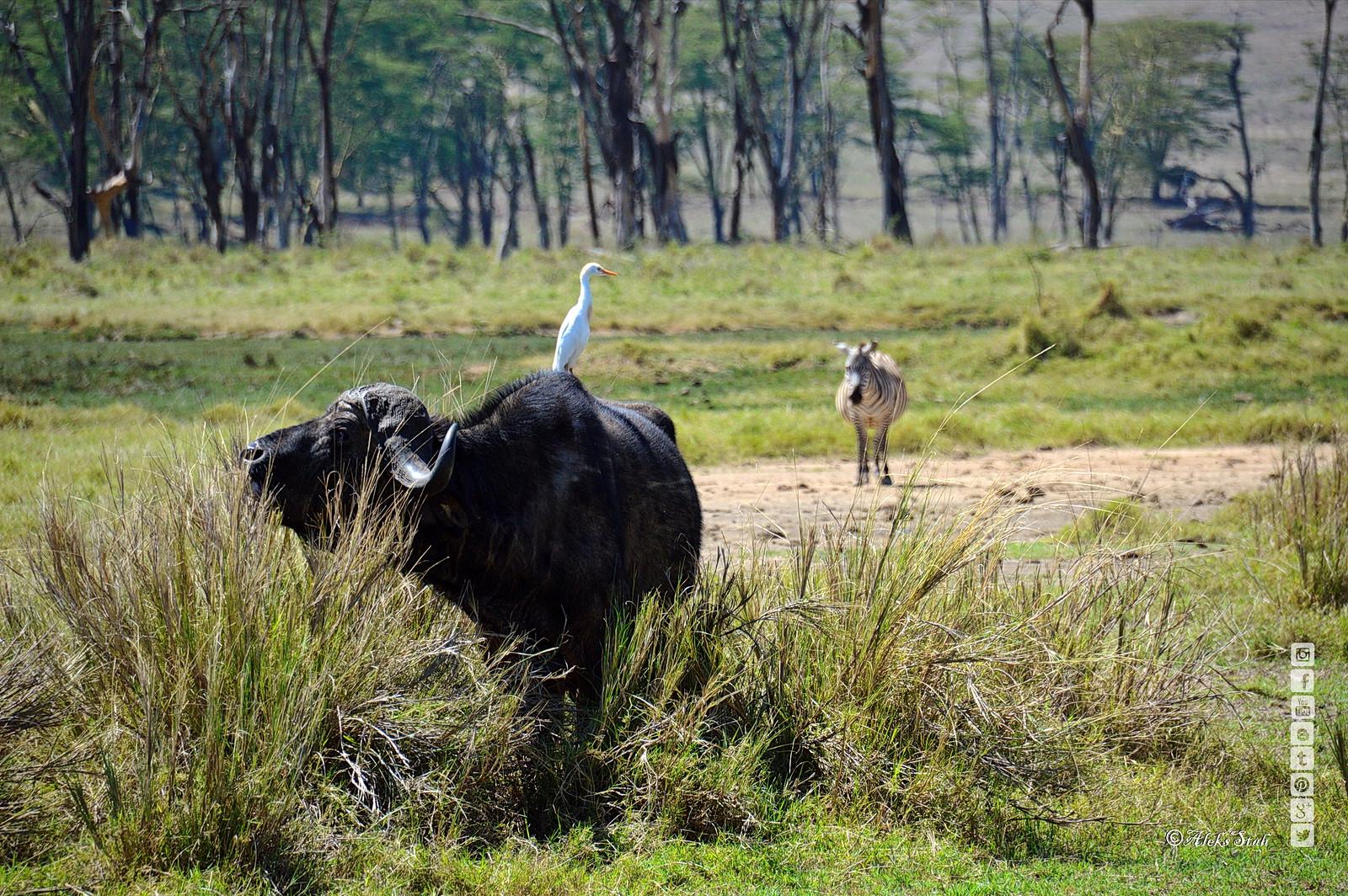Heron and buffalo. Цапля и буйвол