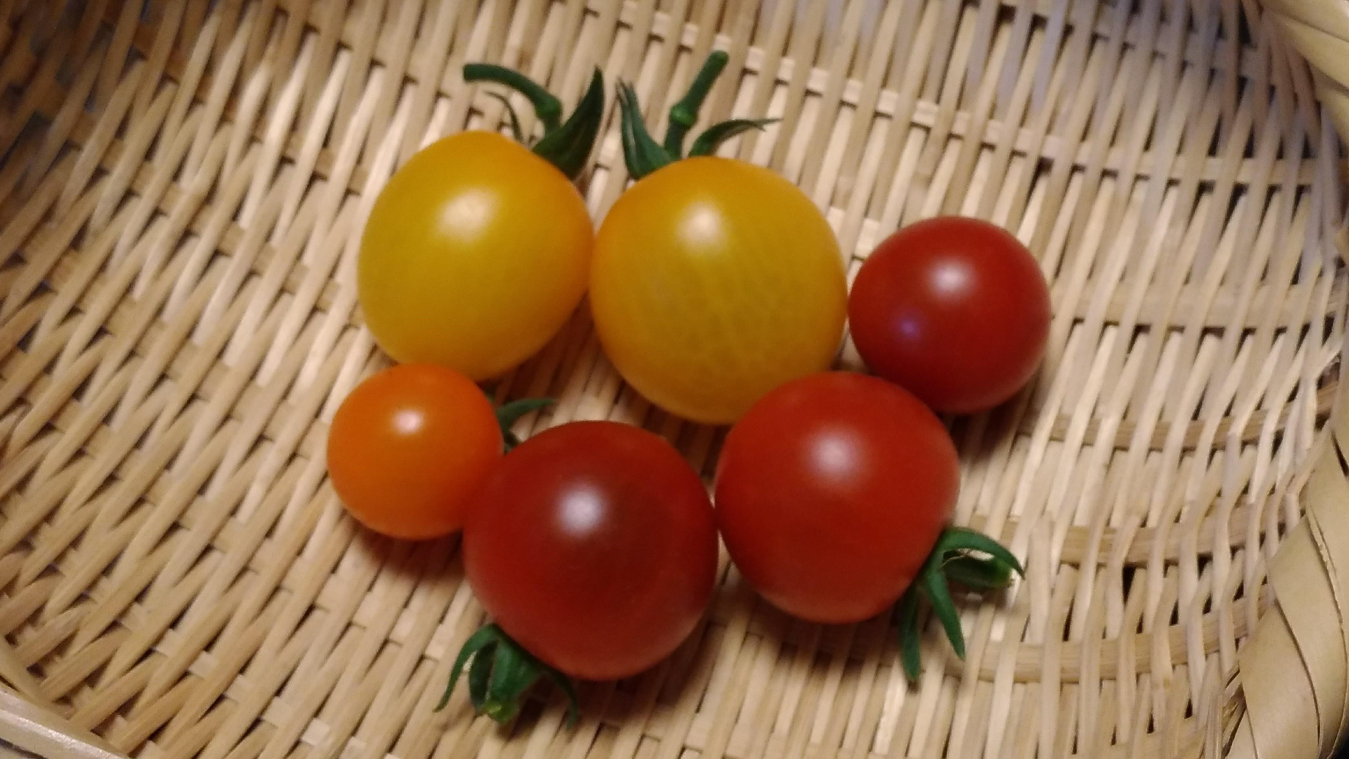 初収穫したトマト