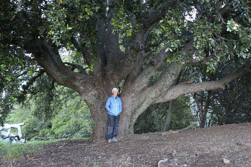Huge old oak tree on the Volcan Mountain Trail