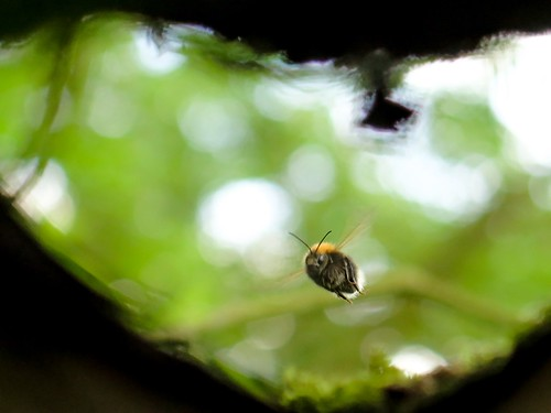 Tree bumblebee entering its willow-cavity nest | by Grantham Ecology