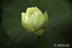 Nelumbo Star of Green