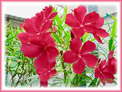 Attractive red blossoms of Nerium oleander (Rosebay, Nerium, Oleander), 26 July 2011