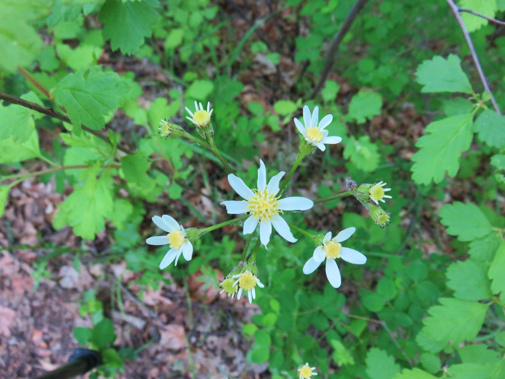 Wildflower along the Oak Ridge Trail