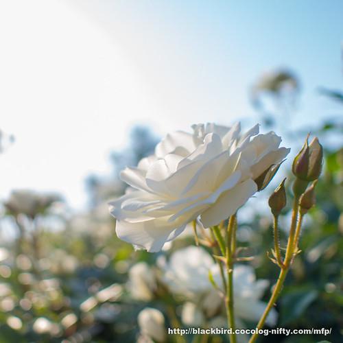 Rose 20170522 #01