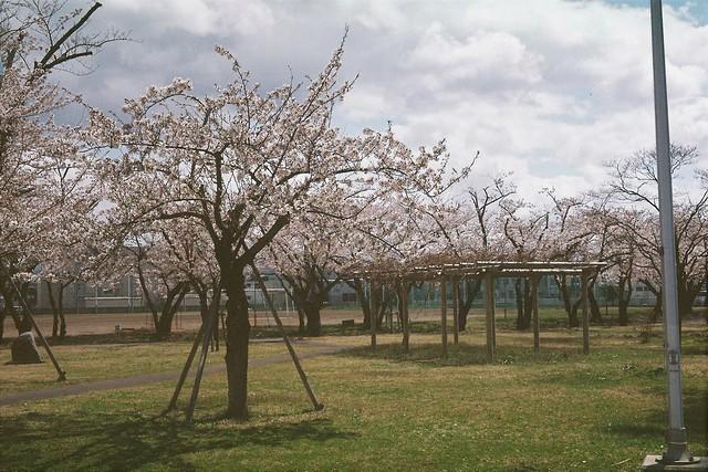 今年の桜9 ミノルタ ハイマチック