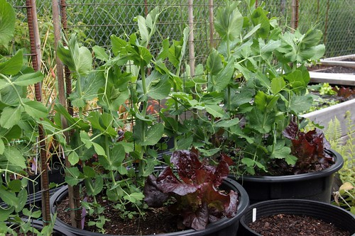 Garden 2017 Peas and lettuce
