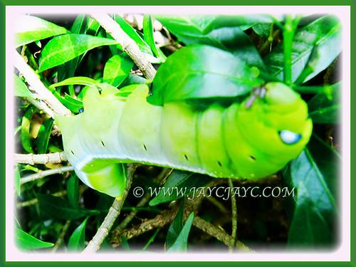 Super fat caterpillar feasting on Pinwheel Flower