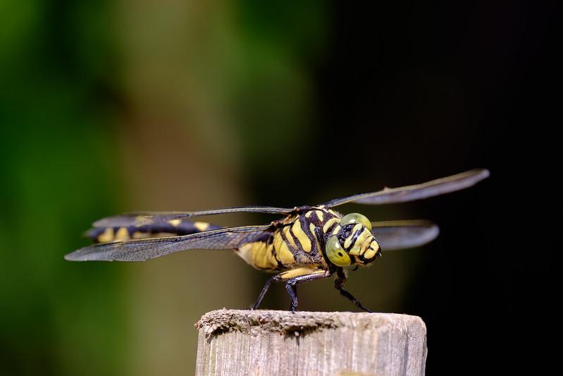 オニヤンマ Siebold's dragonfly