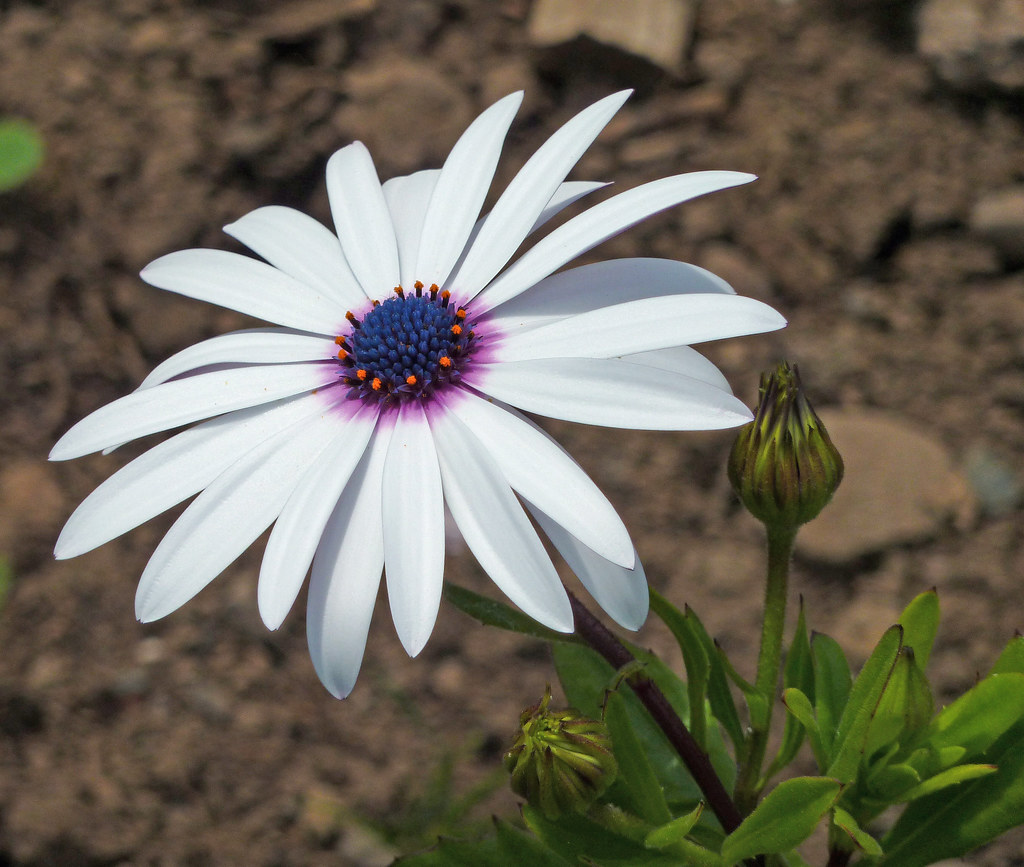 African Daisy This Lovely Flower Was In Dundee Botanical G Flickr
