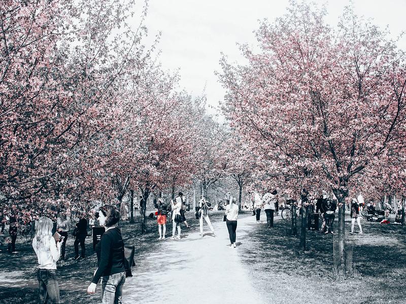 P5206923.jpgKirsikkapuistoRoihuvuoriHelsinki,P5206932.jpgLightPinkCherryTreesHelsinkiCherryBlossom, cherry blossom, cherry tree bloom, kirsikkapuut, kirsikkapuisto, suomi, finland, helsinki, roihuvuori, kevät, toukokuu, may, spring, photography, valokuvaus, photos, harmaa, gray, light pink, vaaleanpunainen, olympus, camera, kamera, cherry park, flowers, kukat, maisema, view, kirsikankukat, cherry flowers, kirsikkapuut,