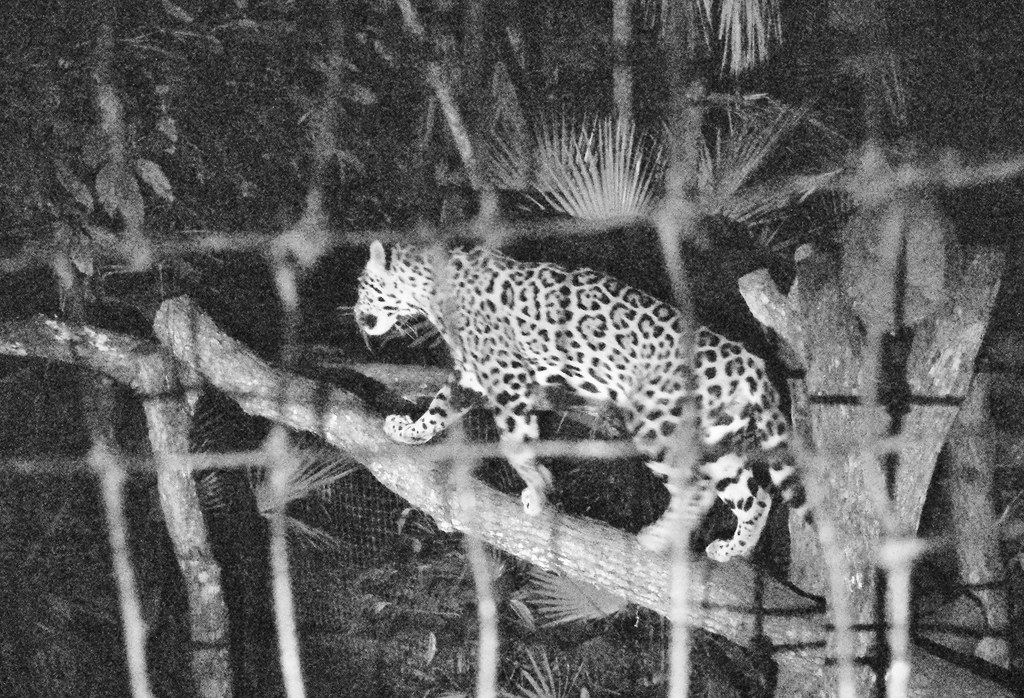Belize Zoo by night tour - Jaguar