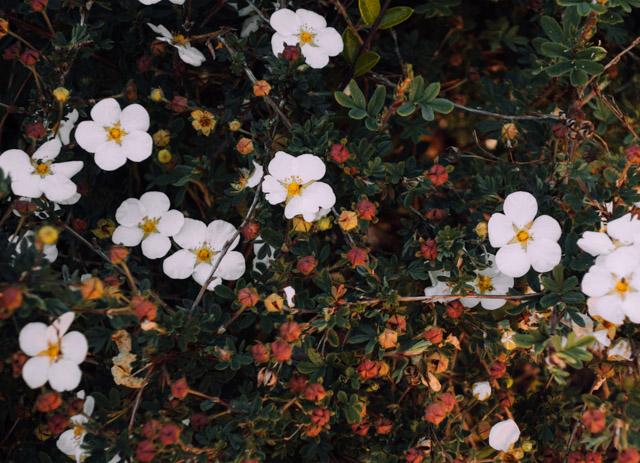 little white flowers in golden hour light