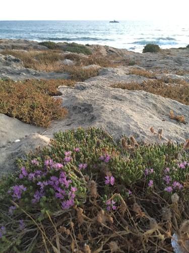 Wild Israeli Thyme (Coridothymus capitatus) on the rocky north coast