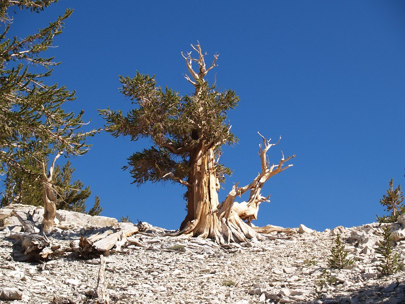 An ancient bristlecone pine tree on the ridge