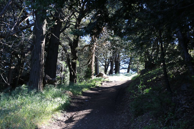 The trail passes through a delightfully-dense patch of cedar trees on Volcan Mountain