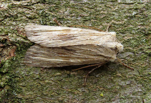 Pale Pinion Lithophane socia Tophill Low NR, East Yorkshire May 2017