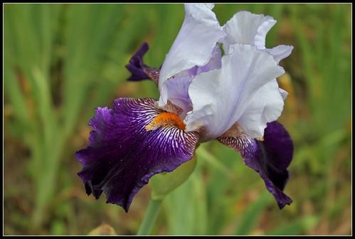 Iris 'Clair Obscur' - J-C. Jacob 2010 34872472001_1db9a7f143