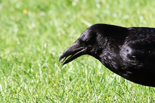 Crow and black tongue