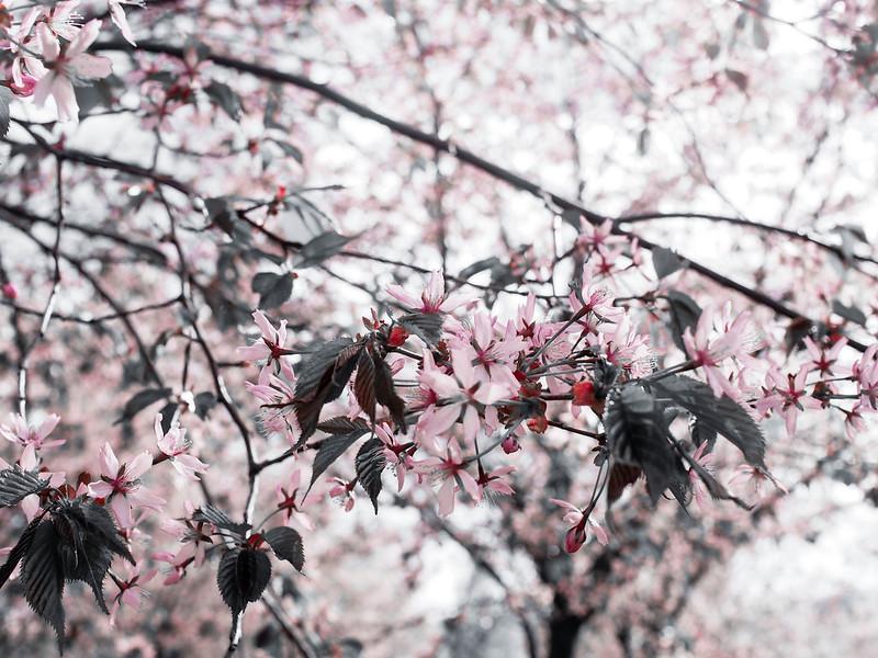P5206921.jpgCherryBlossomHelsinkiFinland,P5206932.jpgLightPinkCherryTreesHelsinkiCherryBlossom, cherry blossom, cherry tree bloom, kirsikkapuut, kirsikkapuisto, suomi, finland, helsinki, roihuvuori, kevät, toukokuu, may, spring, photography, valokuvaus, photos, harmaa, gray, light pink, vaaleanpunainen, olympus, camera, kamera, cherry park, flowers, kukat, maisema, view, kirsikankukat, cherry flowers, kirsikkapuut,