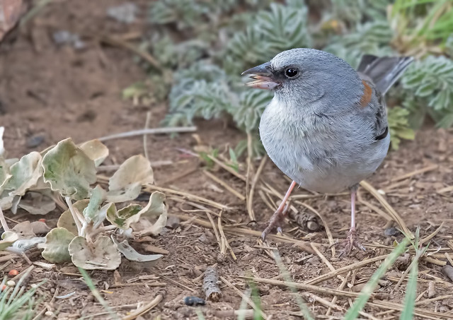 Dark-eyed-Junco-(Red-back)-2-7D2-060217