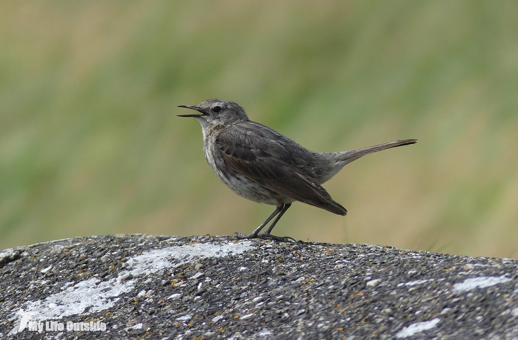 P1080527 - Rock Pipit, Burry Port