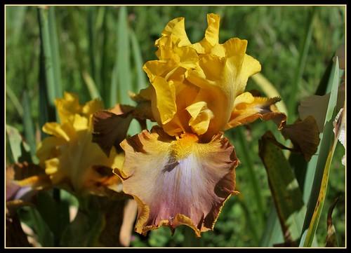 Iris 'Leader du Barry' - R-L Vasquez-Poupin NR 35176349345_7c94225290