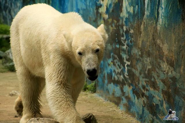 Eisbär Fiete im Zoo Sosto 30.05.2017 167