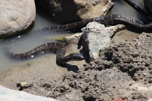 IMG_10161_Water_Snake_at_Ouabache