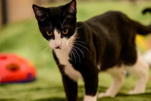 Clooney, gatito blanquinegro muy guapo con perilla, apto para perros y esterilizado nacido en Enero´17, en adopción. Valencia. ADOPTADO. 34266585413_ec56b21f67