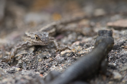 Great Basin Fence Lizards, Sceloporus occidentalis longipes Baird, 1859 ♂♀ | by Misenus1