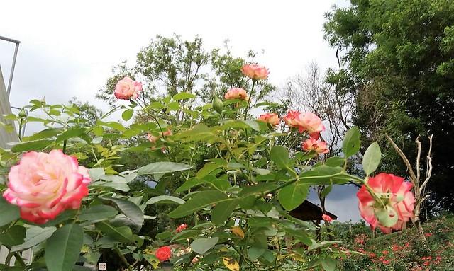 雅聞玫瑰花 (9)