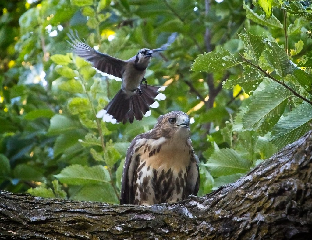 Fledgling red-tail mobbed by blue jay