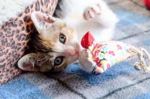 Lorna, monísima tricolor jaspeada nacida en Abril´17, en adopción. Valencia. ADOPTADA. 34969278602_c9e58ef45d