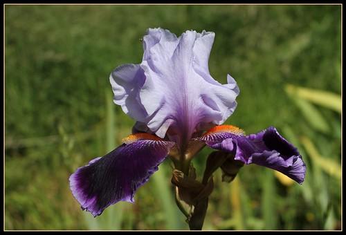 Iris 'Magic Man' - Barry Blyth 1979 35013306142_98d13744b2