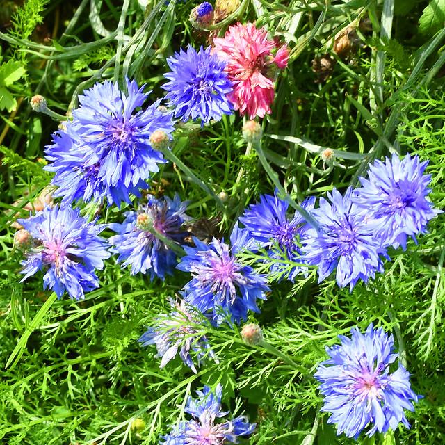 Gemeindepark Edingen am Friedhof ... Bienen- und Insektenweide ... ein Augenschmaus für menschliche Parkbesucher ... Fotos: Brigitte Stolle, Juli 2017
