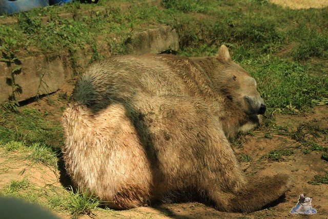 Eisbär Fiete im Zoo Sosto 29.05.2017 068