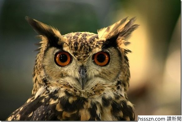 Owl_thumb_581_389
