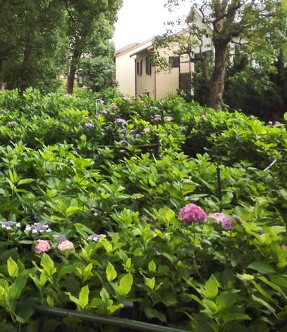 藤森神社の第一あじさい苑