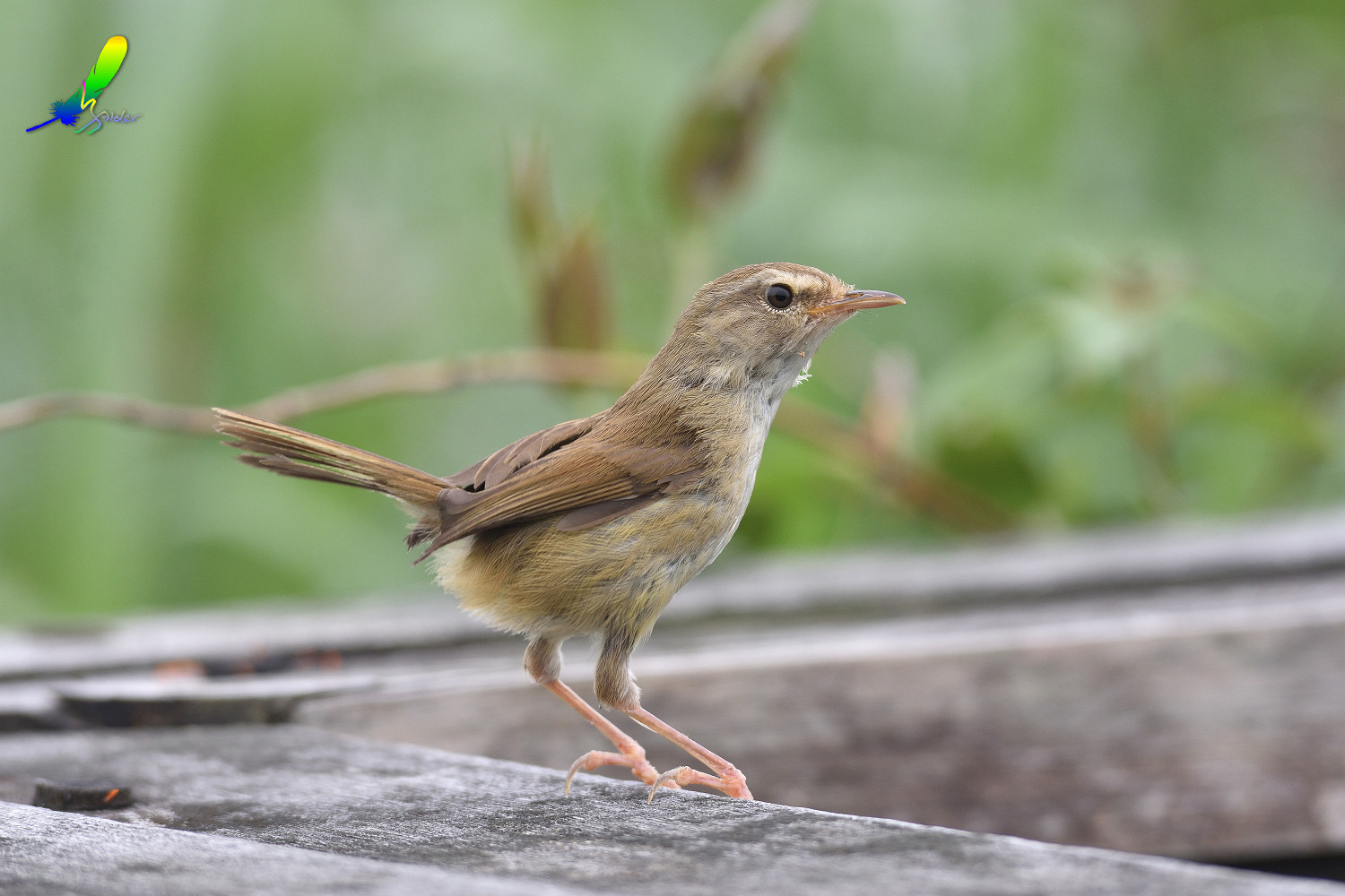 Strong-footed_Bush_Warbler_4190