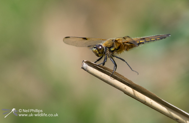 4 spotted chaser-6