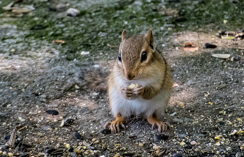 Chipmunk | by Stephen Downes