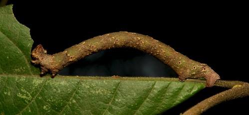 Geometrid Moth Looper Caterpillar (Geometridae)