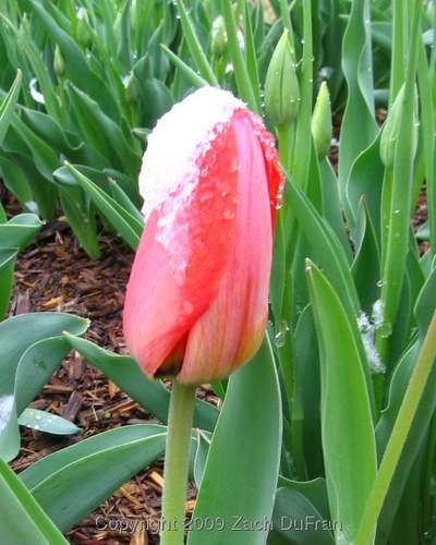 red_tulip_snow_2009