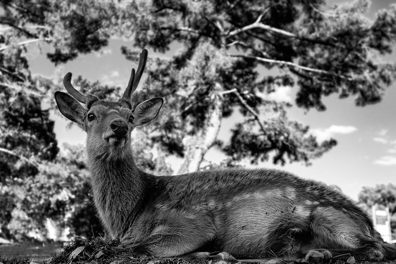 Deer of The Nara Park