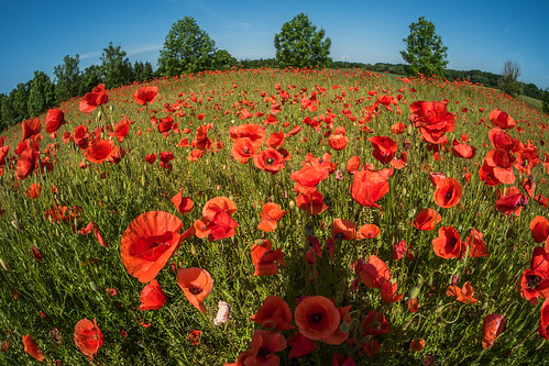 poppy meadow | by Twyschkony